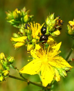 St John's Wort can be partially controlled biologically by the Greater St John's Wort beetle (Chrysolina quadrigemina)