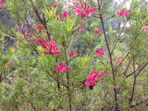 Rosemary Grevillea (Grevillea rosmarinfolia) flowers in October