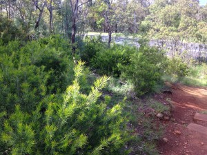 Rosemary Grevillea plants near the Red Hill Drive/ Golf Course Road intersection