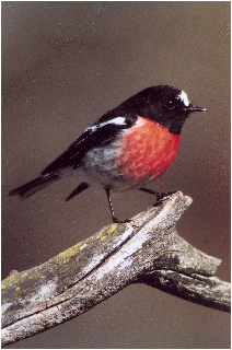 Scarlet Robin (photo H Fallow)