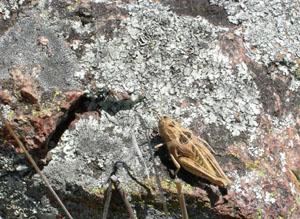 Perunga Grasshopper
