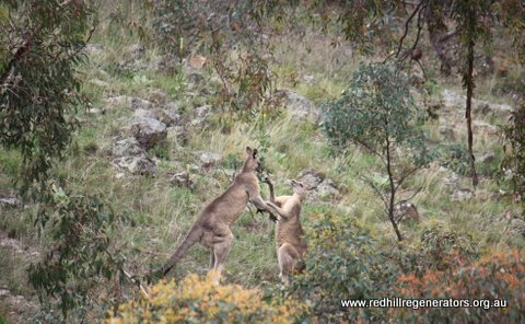 Adult male Eastern Grey kangaroos sparring on Red Hill
