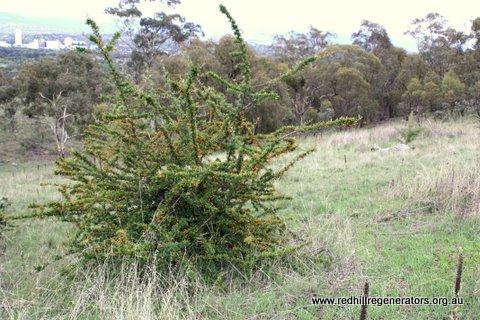 Pyracantha bush