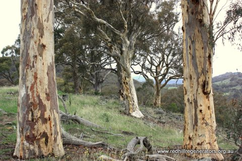 Red Gum on Red Hill