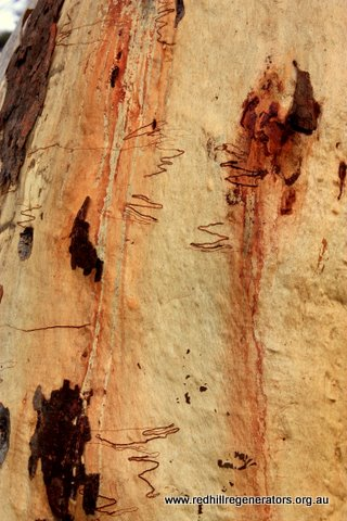 Scribbly Gum characteristic bark appearance