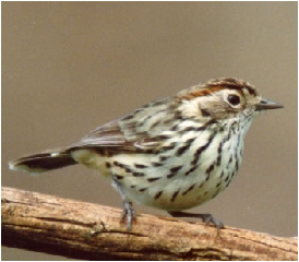 Speckled Warbler (photo H Fallow)