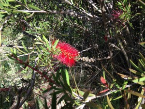 Historic callistemon -3