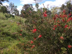 Historic callistemon -4