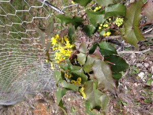 Berberris aquifolium - Oregon Grape
