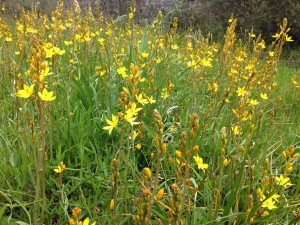 Bulbine Lillies